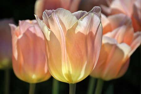 Pink tulipans