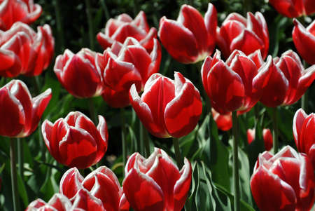 Red and white tulipans Stock Photo