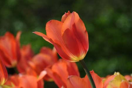 Pretty salmon tulipan Stock Photo