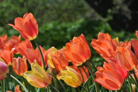 Salmon tulipans