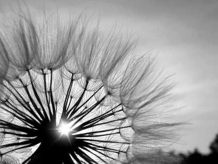 Black and white abstract dandelion flower background, extreme closeup with soft focus.