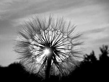 dandelion head black and white in the sun on sunset background