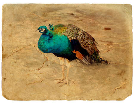 Peacock - a stylized retro card. Old postcard. Isolated on white background photo
