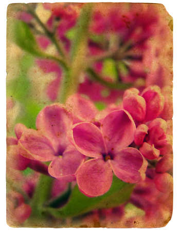 Blooming flowers of lilac. Old postcard. design in grunge and retro style photo