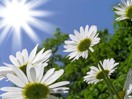 Bright sunny day and the flowers of white daisies   photo