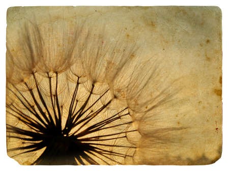 Dandelions. Old postcard. Isolated on white background