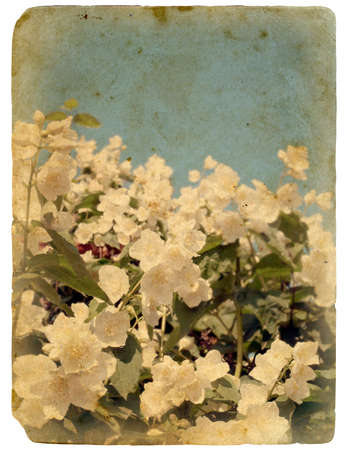 fray: Blooming flower of jasmine. Old postcard, design in grunge and retro style Stock Photo