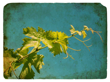 Young grape leaves. Old postcard, design in grunge and retro style photo