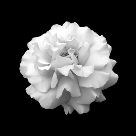 black and white flower rose  A close up isolated on a black background