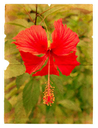 Red hibiscus flower on a piece of old paper. Page isolated on white photo