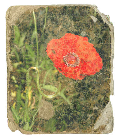 retro design - red poppy  Old postcard isolated on white background photo