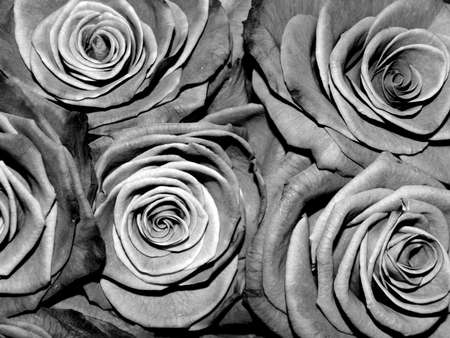 transpiration: Black and white roses, monochrome, background Stock Photo