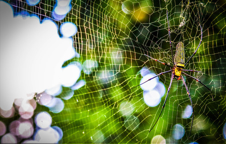 Golden Orb-weaver Spider in the forest