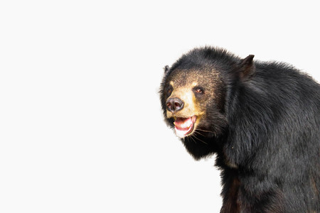 Asiatic Black Bear  isolated on white background