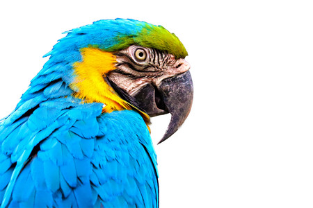 Blue and Yellow macaw isolated on black background