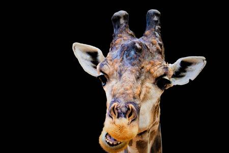head giraffa isolated in black background Stock Photo