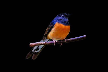 white-rumped Shama on the branch on black  background Banco de Imagens