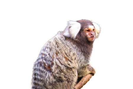 marmoset isolated on white background