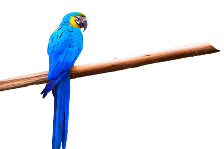 blue and Yellow macaw isolated on white  background 스톡 콘텐츠