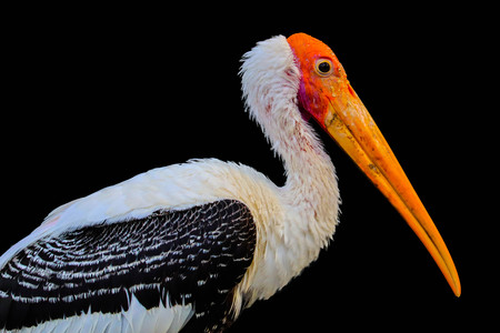 Painted Stork isolated on black background Stock Photo