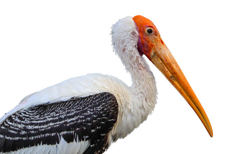 Painted Stork isolated on white background