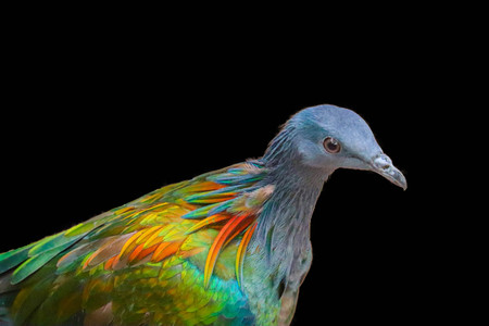 Nicobar Pigeon isolated on black background