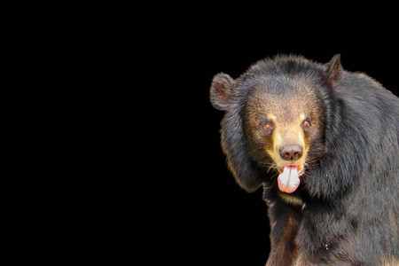 Asiatic Black Bear  isolated on black background