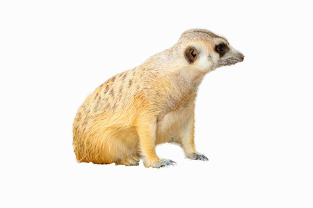The cute Meerkat isolated on white background
