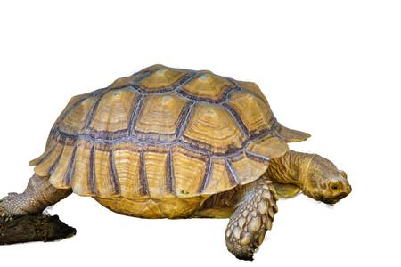 Tortoise on the white background