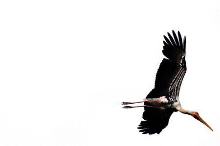 Painted Stork isolated on white background Stock Photo - 124138541