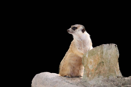 The cute Meerkat isolated on black background