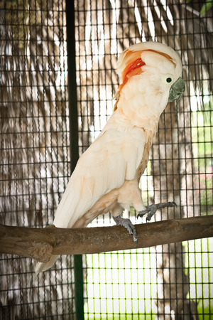 moluccan Cockatoo is cute on the branch