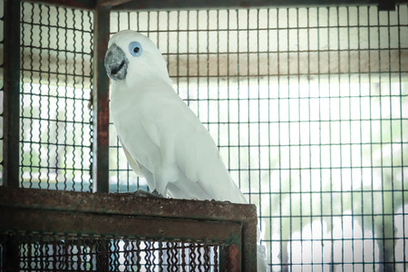 Blue Eyes Cockatoo in the cage