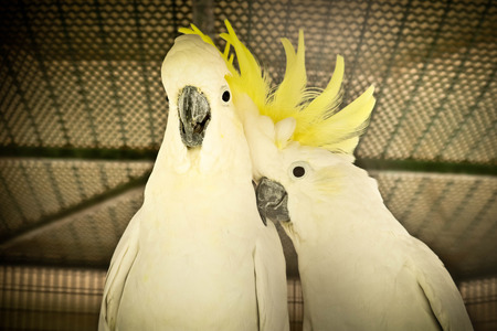 Greater Sulphur-crested Cockatoo in the แฟเ 写真素材