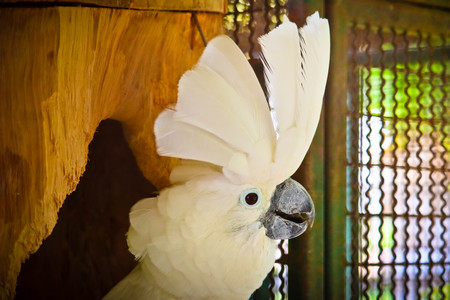 White -crested cockatoo is in the zoo