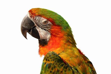 macaw parrot isolated  on white background Stock Photo