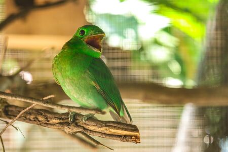 The Green  parakeet on the branch