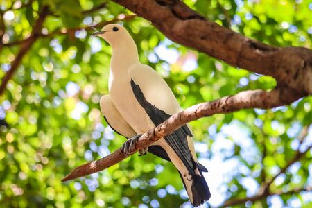 Pied Imperial Pigeon in the forest Stock fotó