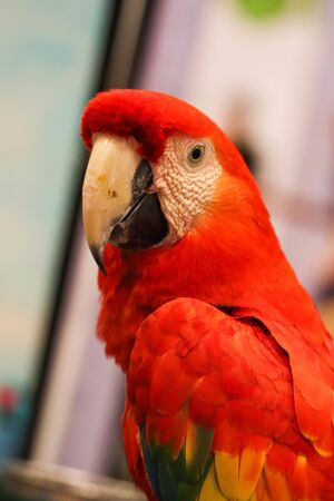 Green-winged macaw close up Stock Photo