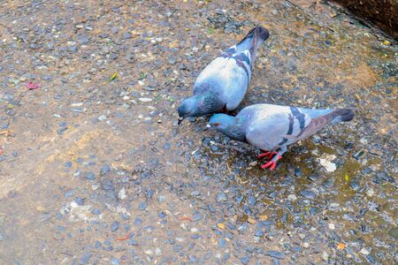 Pigeon on a ground or pavement in a city. Pigeon standing. Dove or pigeon on blurry background. Pigeon concept photo.