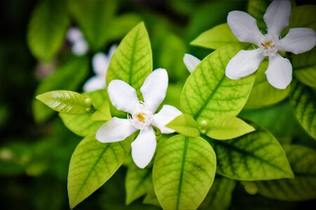 Gardenia flower (Gardenia jasminoides) with the tree and green leaves pattern background texture