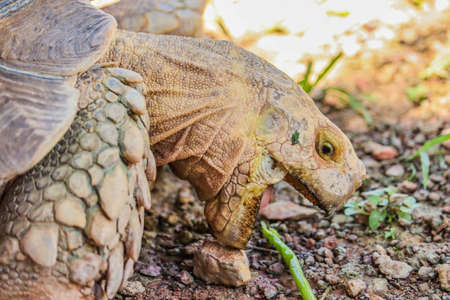 Focus to face of African spurred tortoise