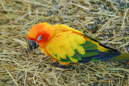 Sun Conure parrot bird holding dry grass by leg for chewing Foto de archivo