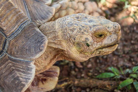 Close up African spurred tortoise resting in the garden 스톡 콘텐츠