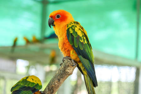 Colorful yellow parrot, Sun Conure (Aratinga solstitialis), standing on the branch, breast profile