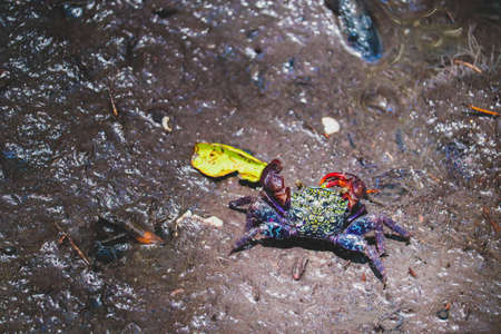 Close up of beautiful mangrove crab feeding on mudflats during low tide. Mangrove crab (perisesarma indiarum), a small colorful crab, living on mudflats in mangrove forest in Thailand.