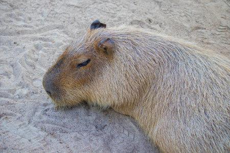 Capybara lying on grass ground / Sleeping capybaras on summer day in the farm