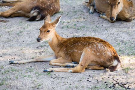 Beautiful axis deer in the nature habitat in Thailand.Beautiful axis deer close up.