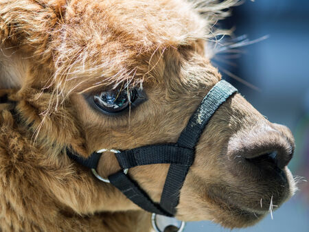 brown alpaca with a close up look of the eye photo