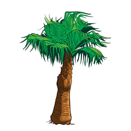 subtropics: Realistic drawing of Sabal palm tree isolated against white background.